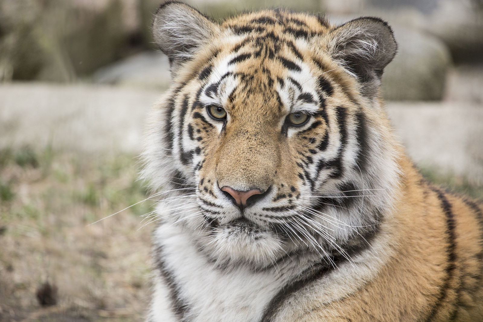 Osallistu Kissojen Yössä eläintarhan melututkimukseen älyteknologian avulla